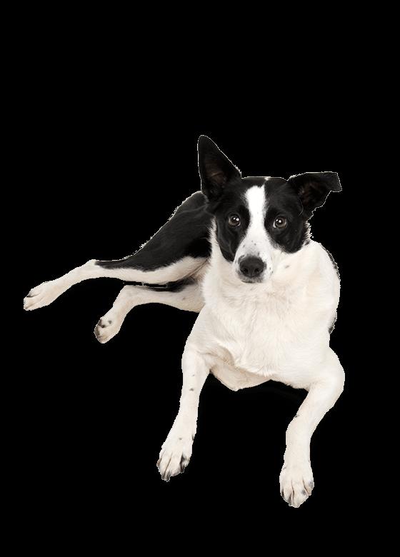 Hund, Team
